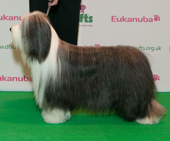 http://crufts.fossedata.co.uk/crpix/2010_BCO_BOB.jpg