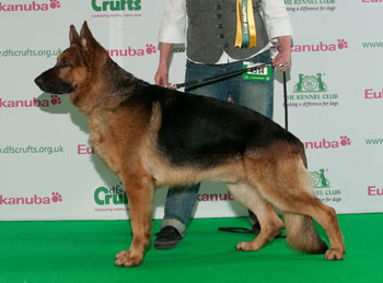 http://crufts.fossedata.co.uk/crpix/2010_GSD_BOB.jpg