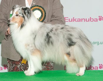 http://crufts.fossedata.co.uk/crpix/2010_SHS_BOB.jpg