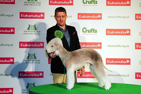 Bedlington Terrier Crufts 2013 Bedlington Terrier