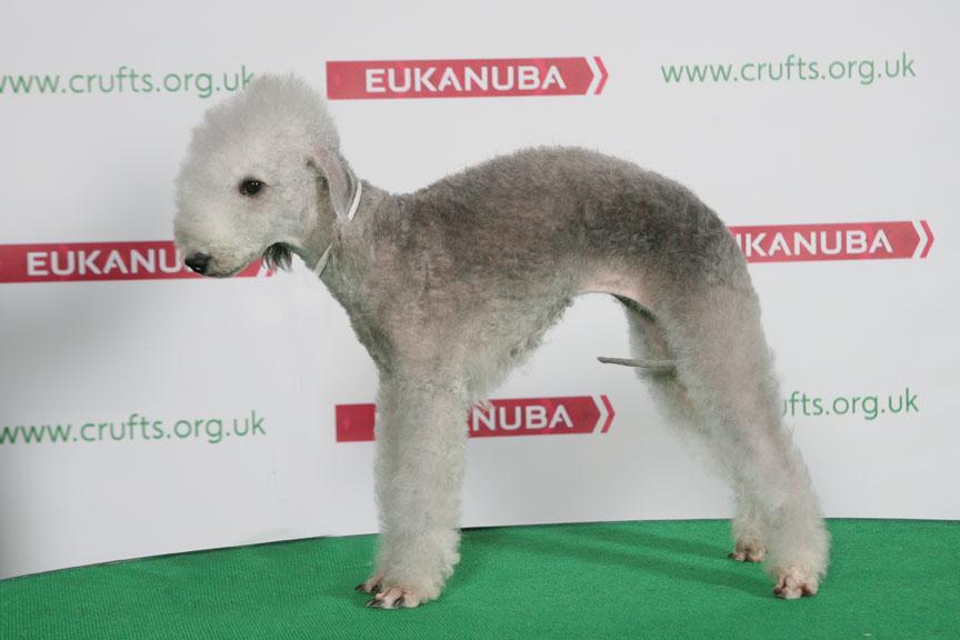 Bedlington Terrier Crufts 2013 Crufts 2014 Res...