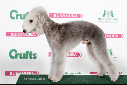 Bedlington Terrier Crufts 2013 Crufts 2017 Res...